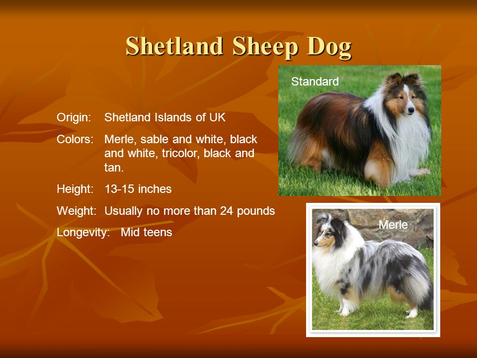 Shetland Sheep Dog Standard Origin: Shetland Islands of UK
