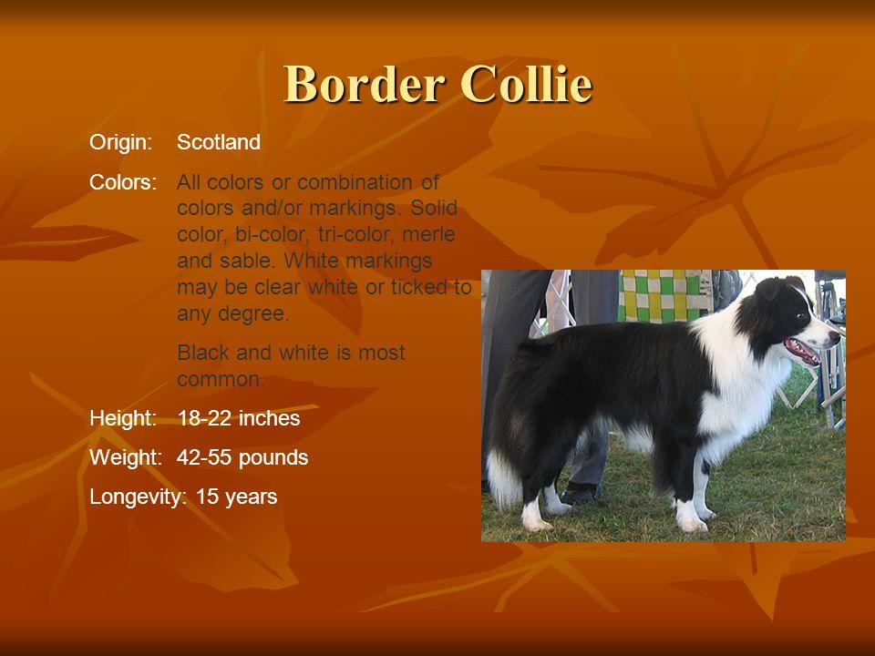 Border Collie Origin: Scotland