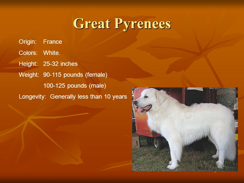 Great Pyrenees Origin: France Colors: White. Height: 25-32 inches