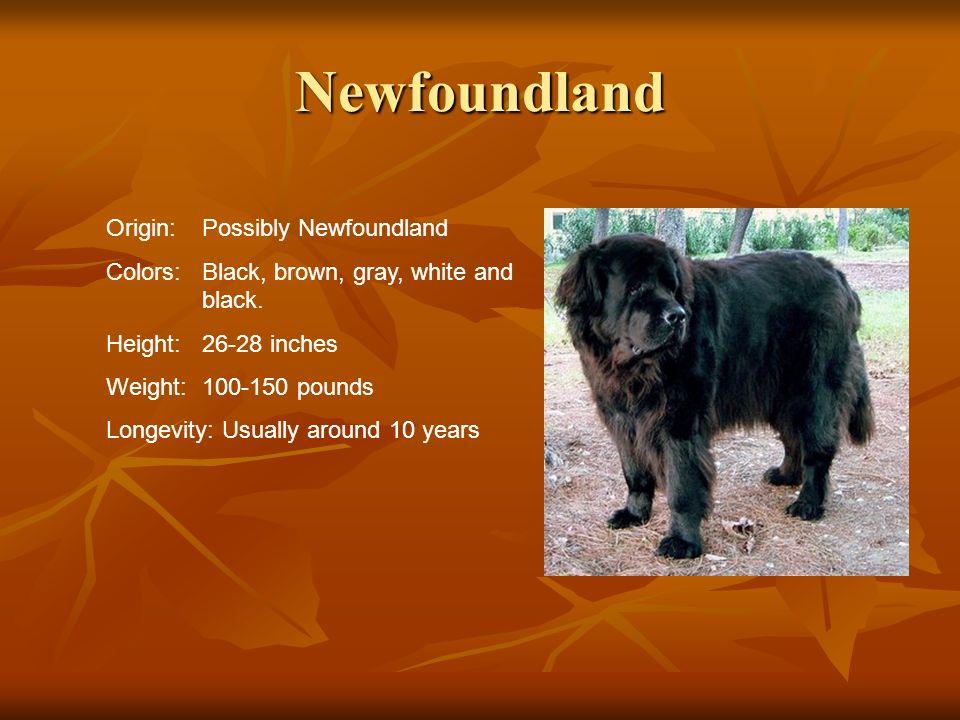 Newfoundland Origin: Possibly Newfoundland
