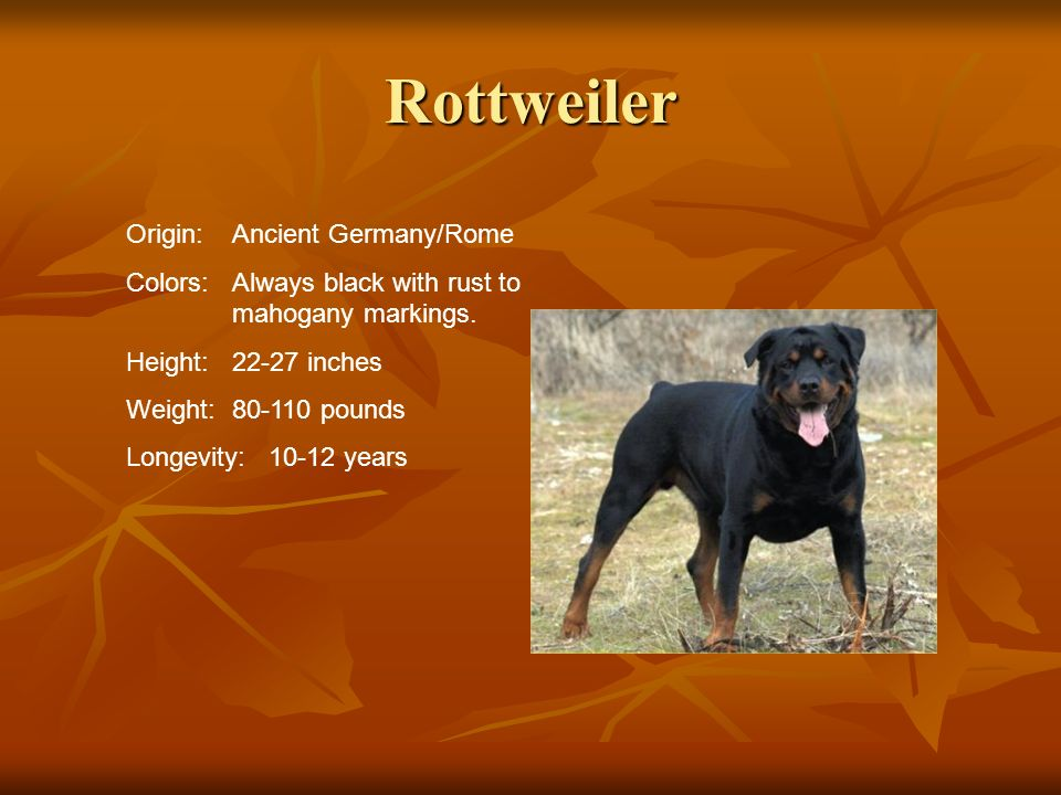 Rottweiler Origin: Ancient Germany/Rome
