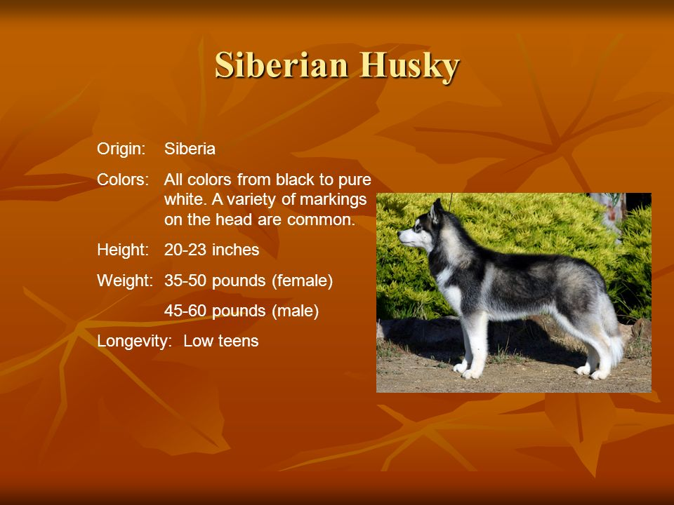 Siberian Husky Origin: Siberia