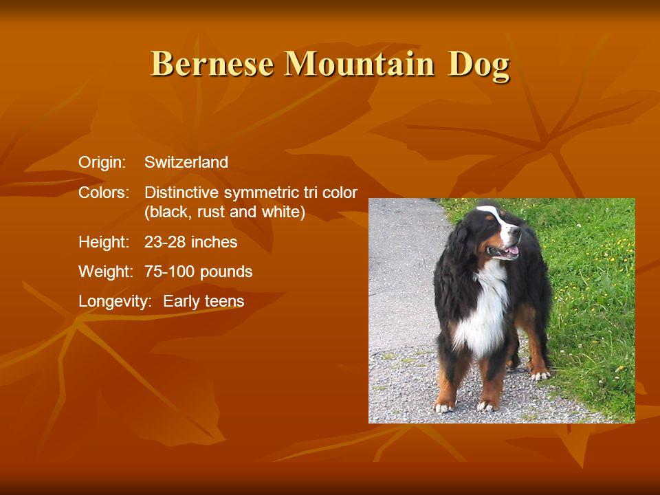 Bernese Mountain Dog Origin: Switzerland