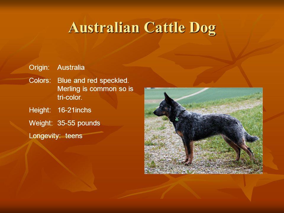 Australian Cattle Dog Origin: Australia