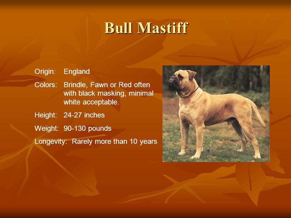 Bull Mastiff Origin: England