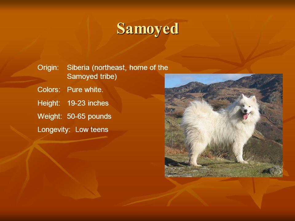 Samoyed Origin: Siberia (northeast, home of the Samoyed tribe)