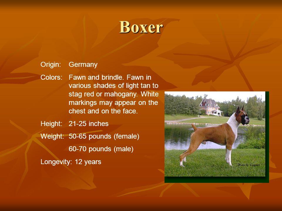 Boxer Origin: Germany.