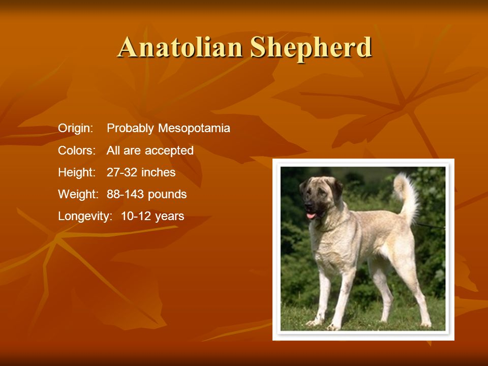 Anatolian Shepherd Origin: Probably Mesopotamia