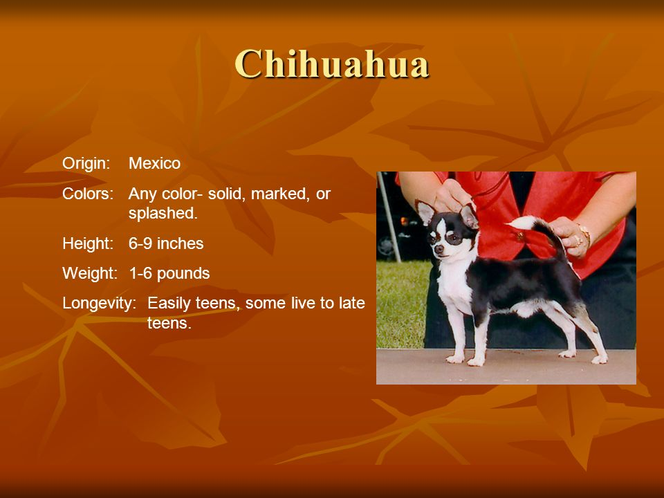 Chihuahua Origin: Mexico
