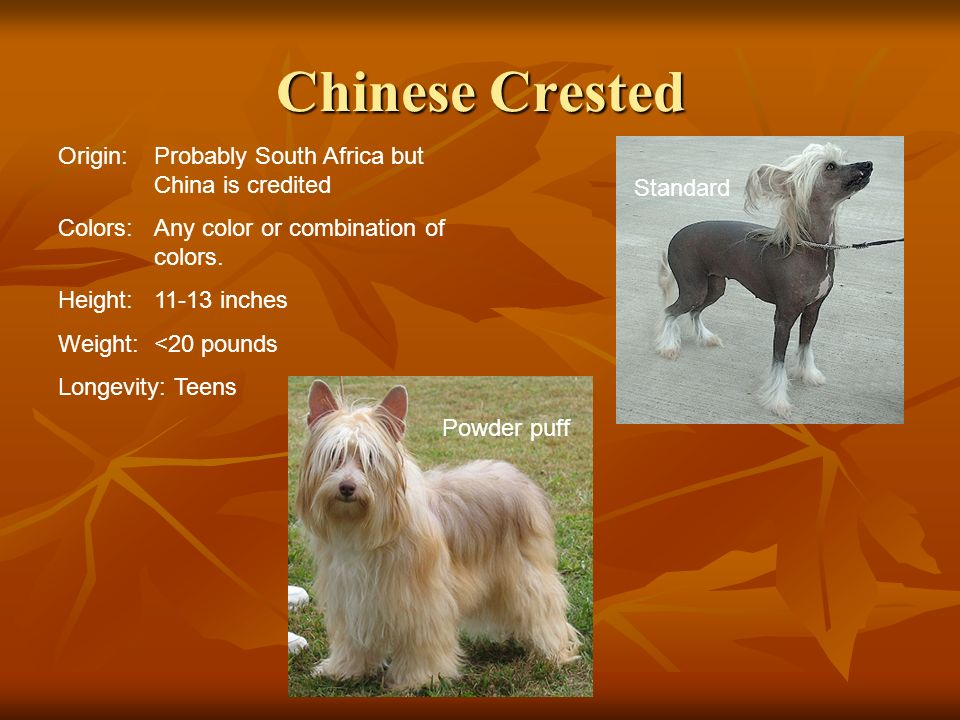 Chinese Crested Origin: Probably South Africa but China is credited