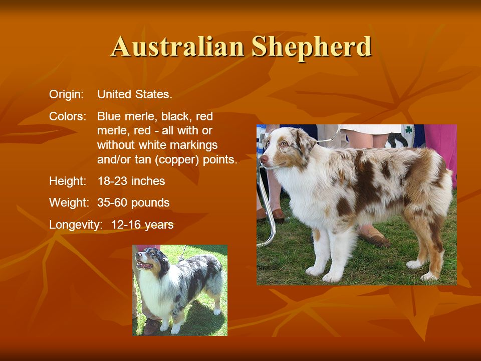 Australian Shepherd Origin: United States.