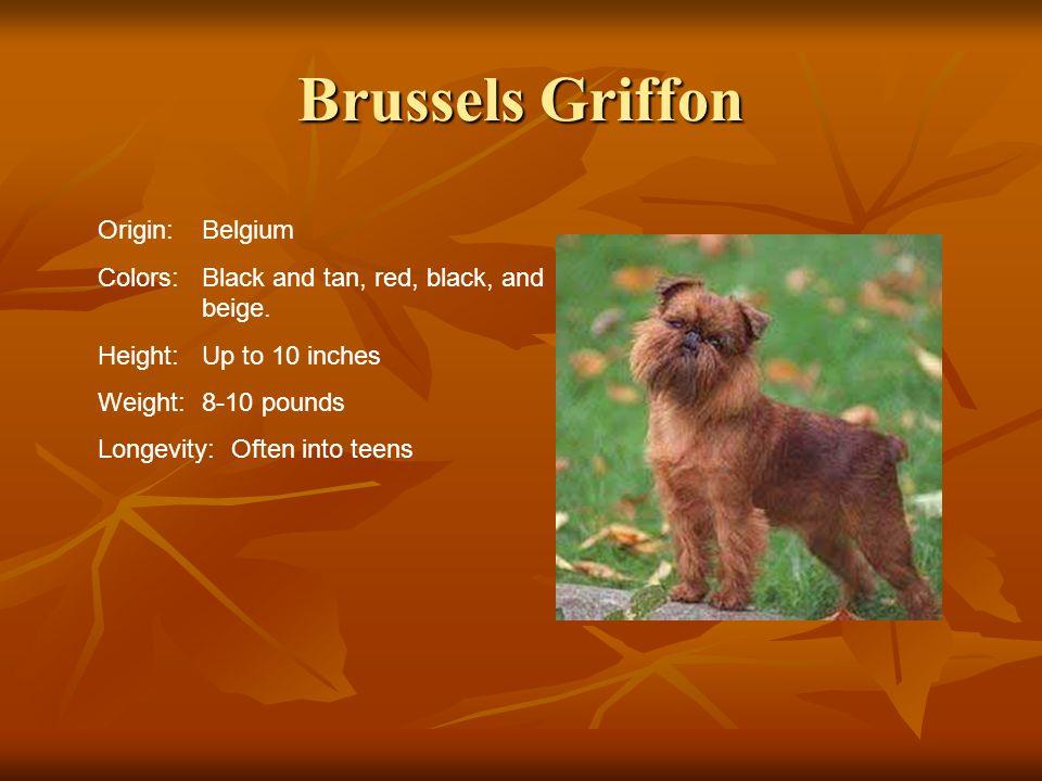 Brussels Griffon Origin: Belgium