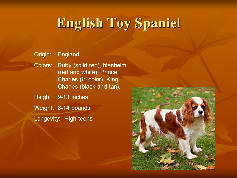 English Toy Spaniel Origin: England