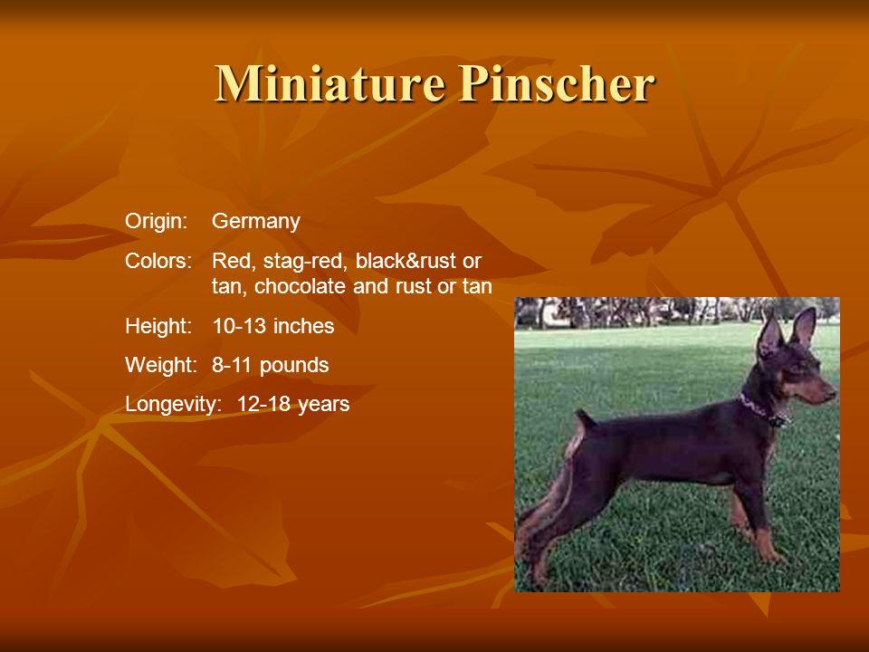 Miniature Pinscher Origin: Germany
