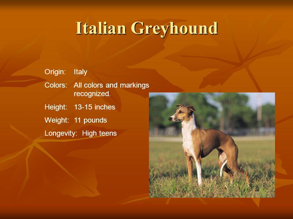 Italian Greyhound Origin: Italy
