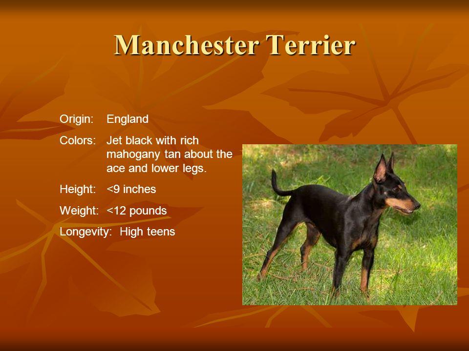 Manchester Terrier Origin: England