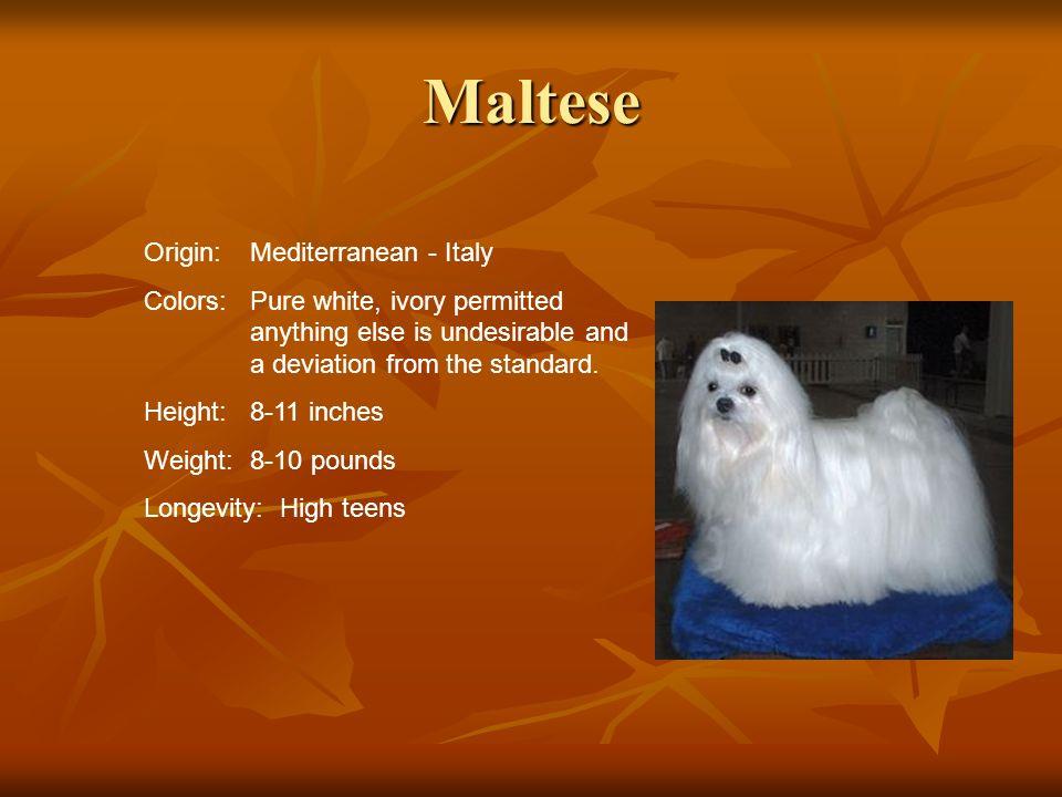 Maltese Origin: Mediterranean - Italy