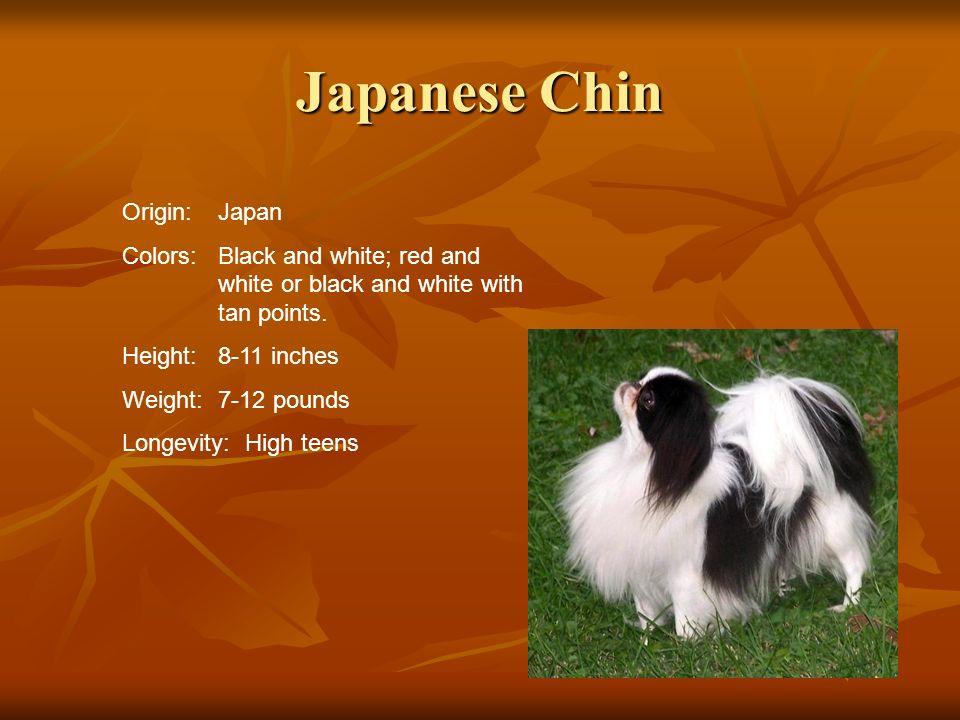 Japanese Chin Origin: Japan