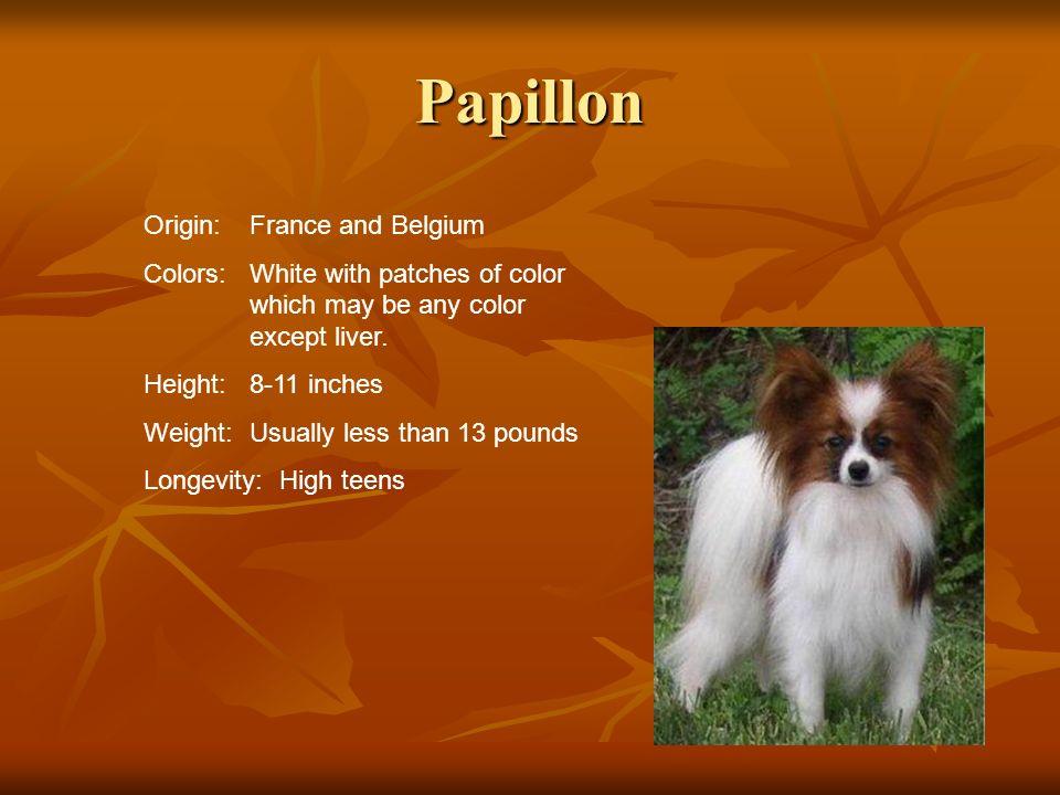Papillon Origin: France and Belgium