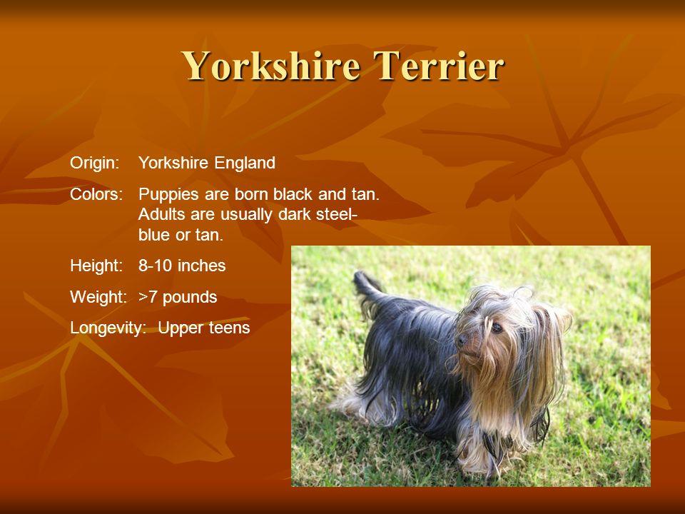 Yorkshire Terrier Origin: Yorkshire England