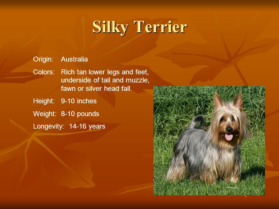 Silky Terrier Origin: Australia