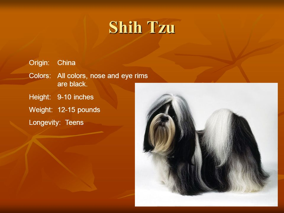 Shih TzuOrigin: China. Colors: All colors, nose and eye rims are black. Height: 9-10 inches. Weight: 12-15 pounds.