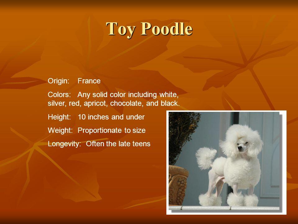 Toy Poodle Origin: France