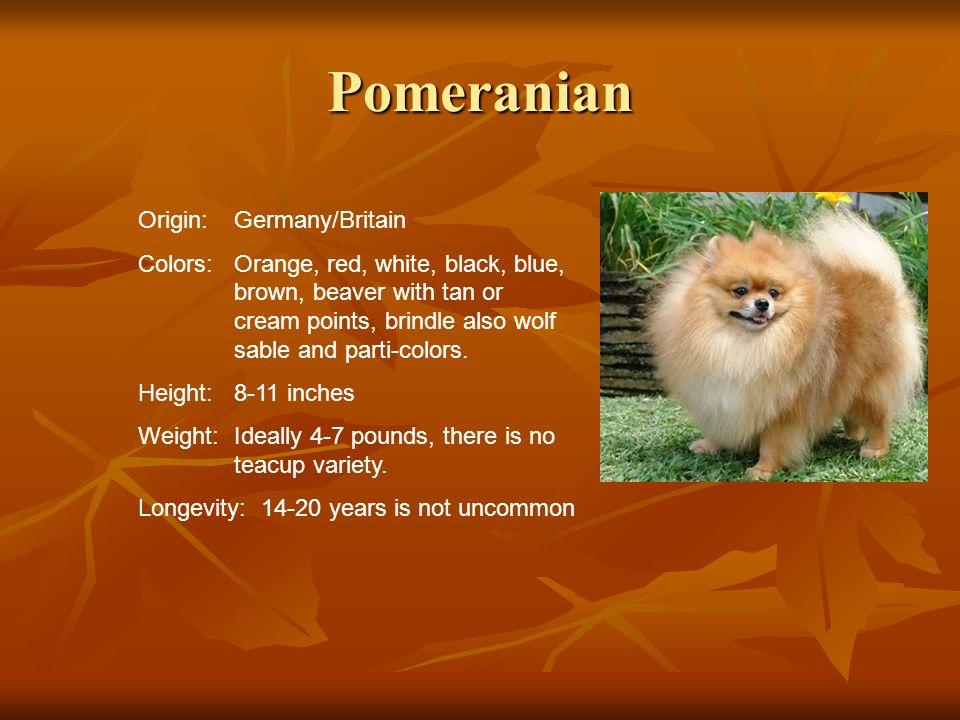 Pomeranian Origin: Germany/Britain