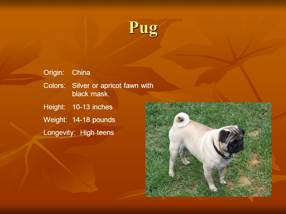 Pug Origin: China Colors: Silver or apricot fawn with black mask.
