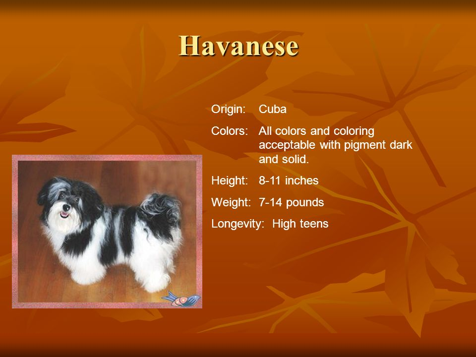 Havanese Origin: Cuba. Colors: All colors and coloring acceptable with pigment dark and solid. Height: 8-11 inches.