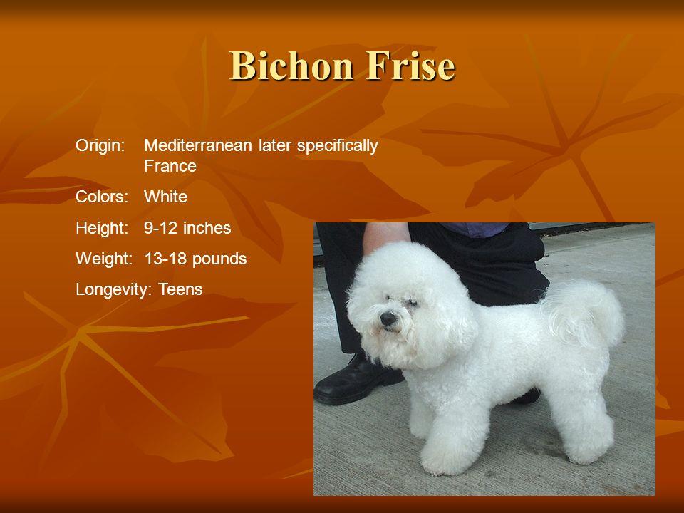 Bichon Frise Origin: Mediterranean later specifically France