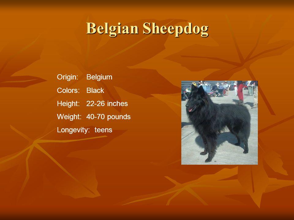 Belgian Sheepdog Origin: Belgium Colors: Black Height: 22-26 inches