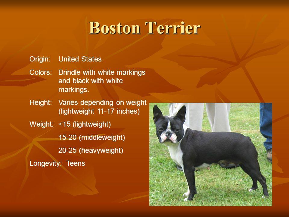 Boston Terrier Origin: United States