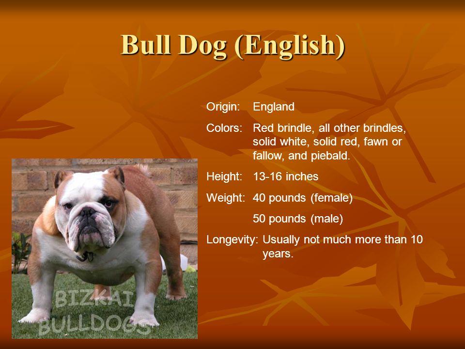 Bull Dog (English) Origin: England