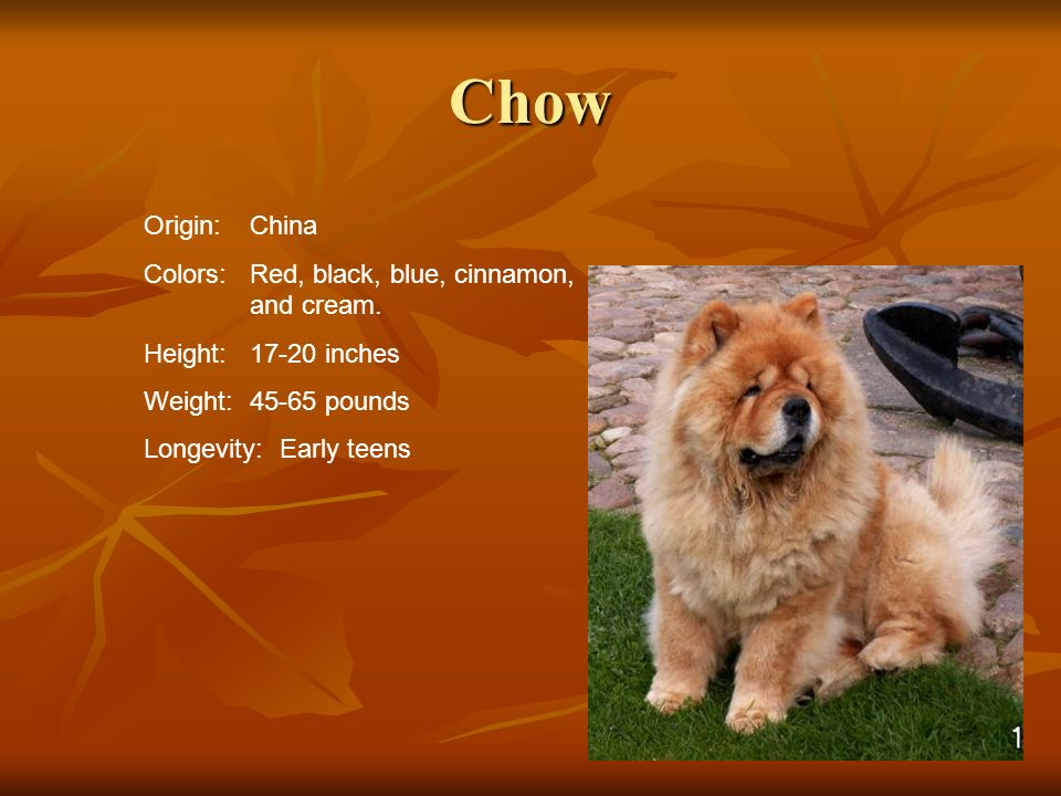 Chow Origin: China Colors: Red, black, blue, cinnamon, and cream.