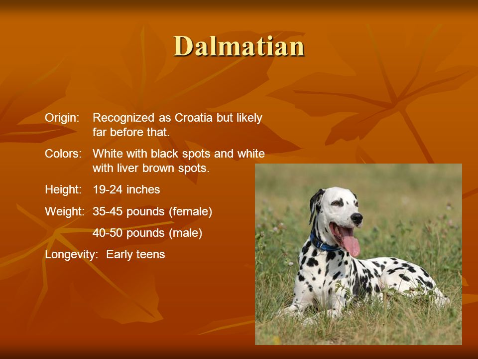 Dalmatian Origin: Recognized as Croatia but likely far before that.