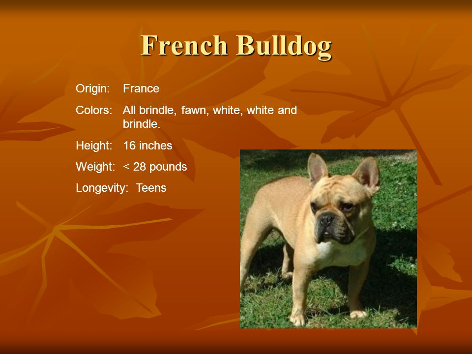 French Bulldog Origin: France