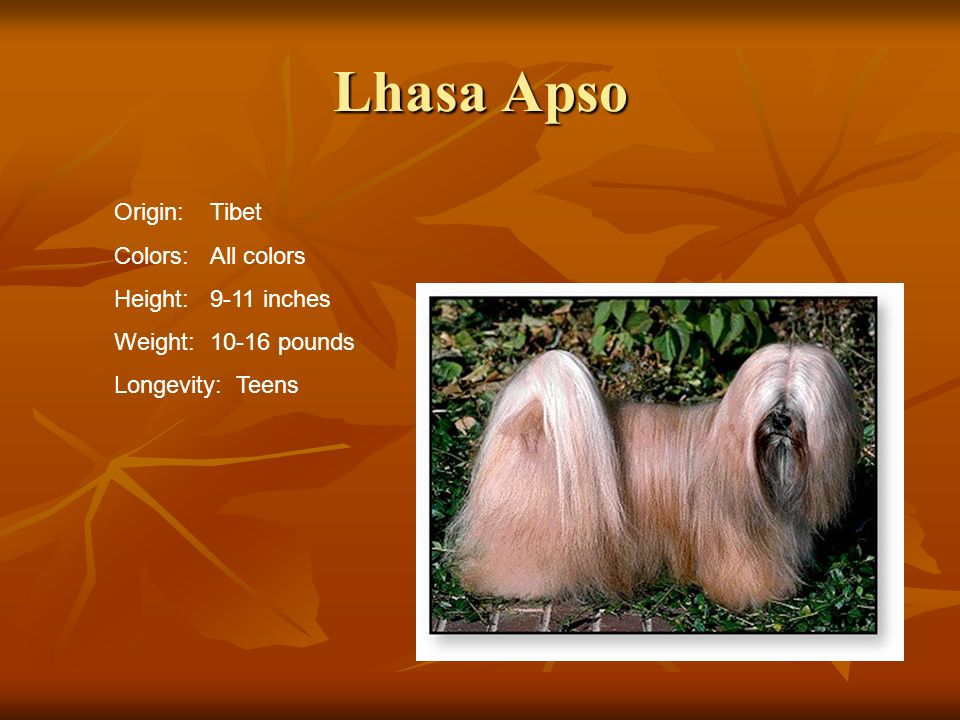 Lhasa Apso Origin: Tibet Colors: All colors Height: 9-11 inches