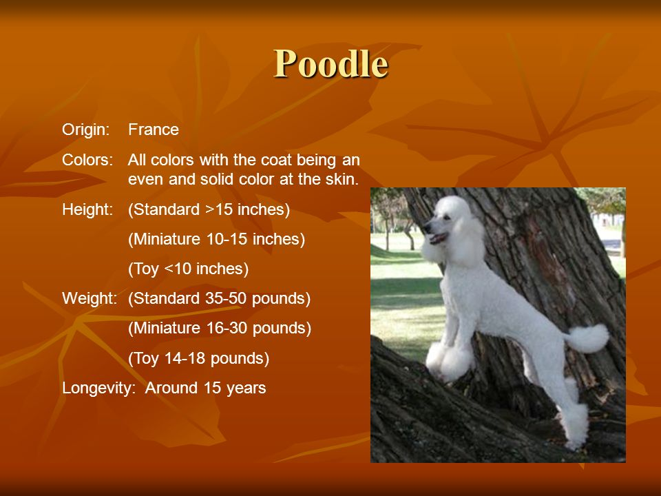PoodleOrigin: France. Colors: All colors with the coat being an even and solid color at the skin. Height: (Standard >15 inches)