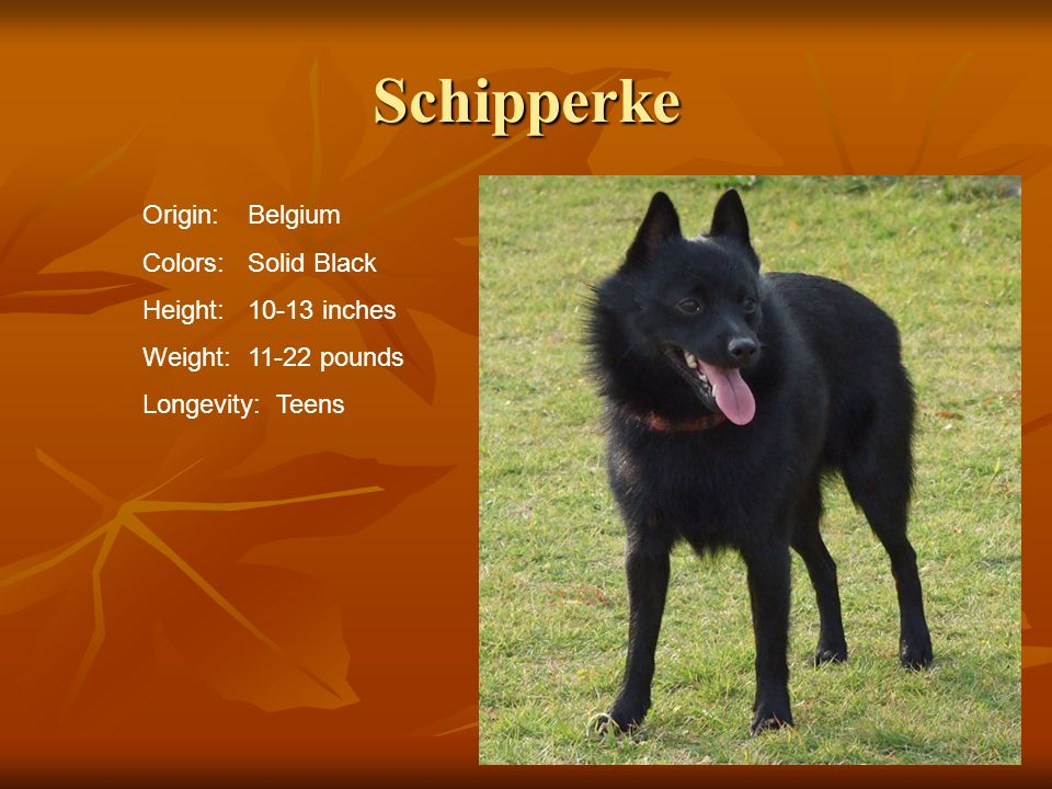 Schipperke Origin: Belgium Colors: Solid Black Height: 10-13 inches