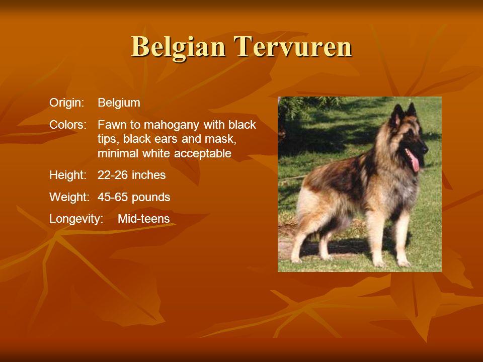 Belgian Tervuren Origin: Belgium