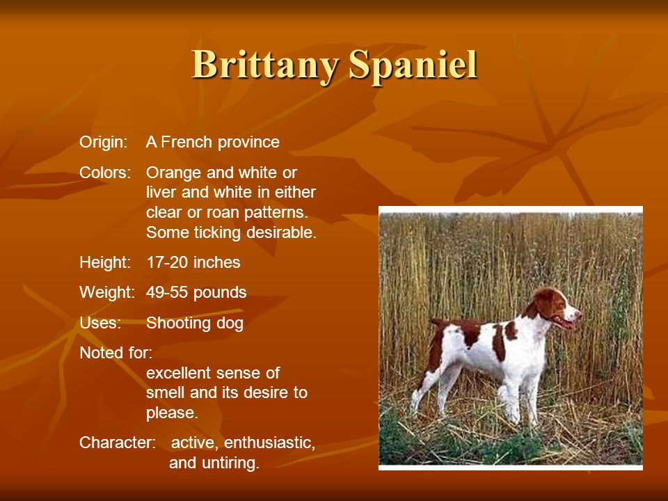 Brittany Spaniel Origin: A French province