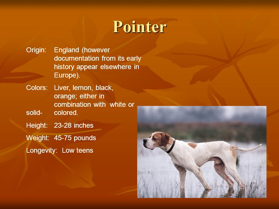 Pointer Origin: England (however documentation from its early history appear elsewhere in Europe).