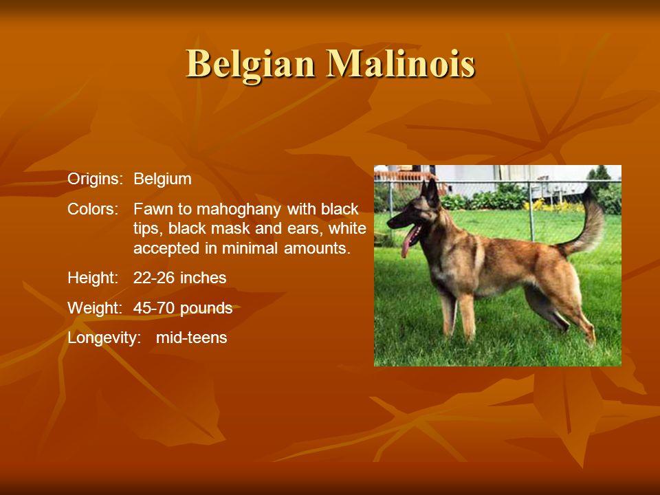 Belgian Malinois Origins: Belgium