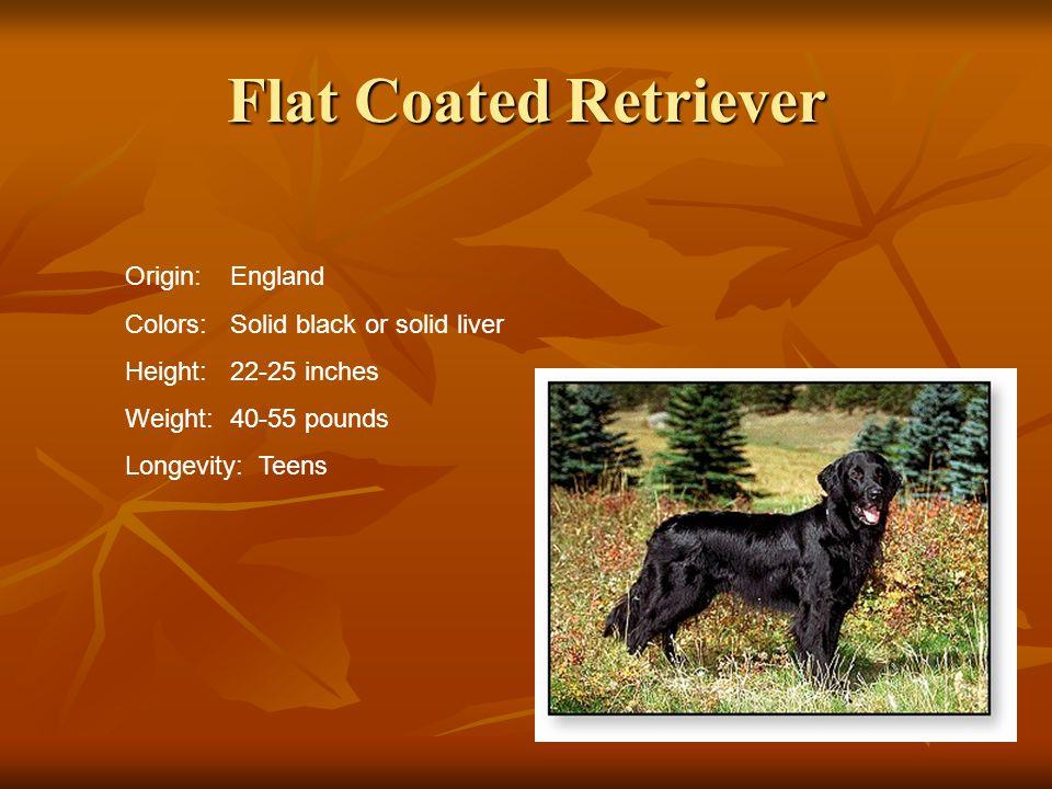 Flat Coated Retriever Origin: England