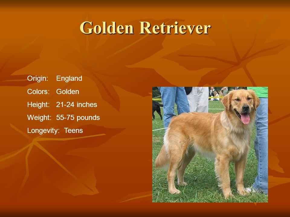 Golden Retriever Origin: England Colors: Golden Height: 21-24 inches