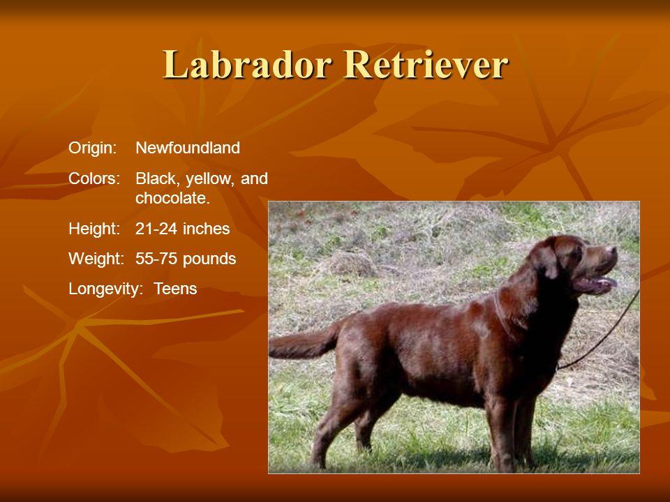 Labrador Retriever Origin: Newfoundland