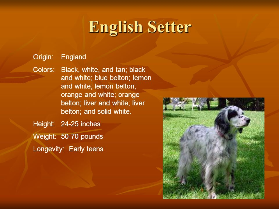 English Setter Origin: England