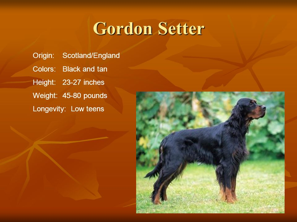 Gordon Setter Origin: Scotland/England Colors: Black and tan