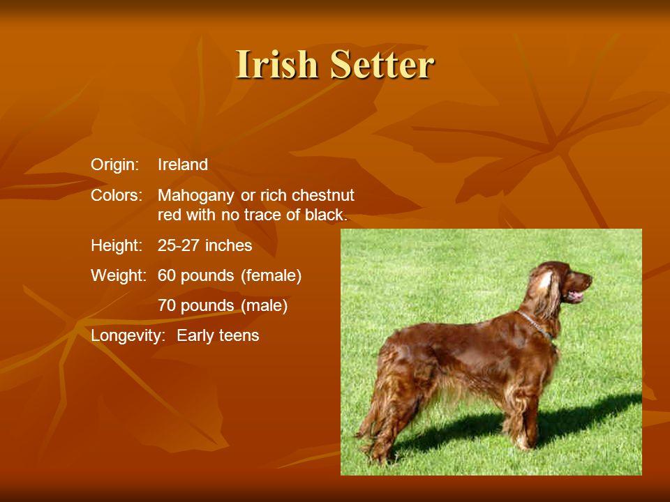 Irish Setter Origin: Ireland